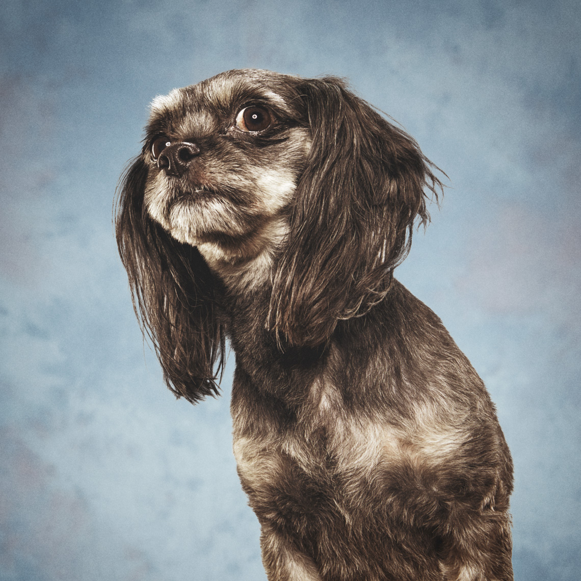 Dog yearbook portrait on retro blue background